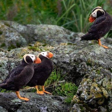 Tufted Puffins in Alaska