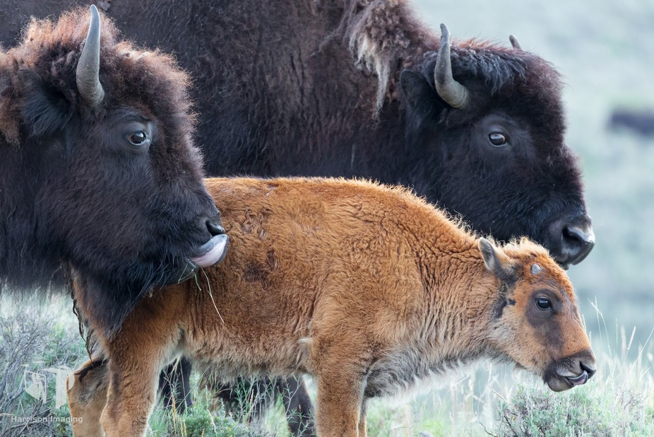 Captured in Yellowstone NP's Lamar Valley.  Two adults and a calf keeping a close eye on...