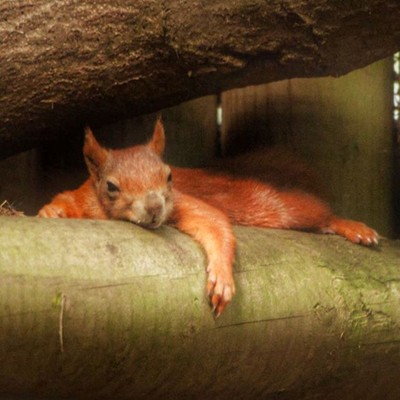 All tired out ????  #redsquirrel  #squirrel  #squirrelsofinstagram  #snoozing  #tree  #nativespecies  #rarespecies  #pensthorpenaturalpark  #pensthorpe  #norfolk  #tribenorfolk  #naturereserve  #naturephotography  #naturelovers  #instanature  #instanimals