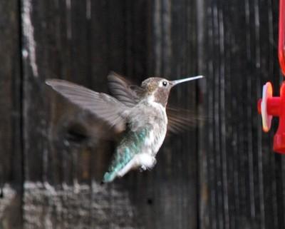 Hummingbirds in the backyard 7-2012 (3)