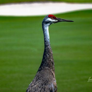 Sand Hill Crane Golfer