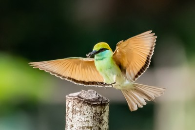 Green Bee Eater with insect