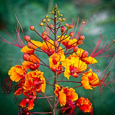 A beautiful and delicate orange and yellow flower of and unknown type.