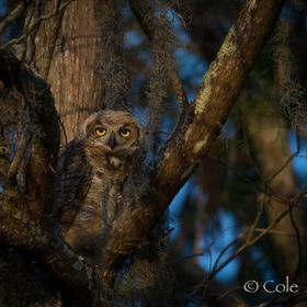 When ever a photographer hears about an owls nest you can maybe reach with your camera, they are off and running. There were three juveniles and ...