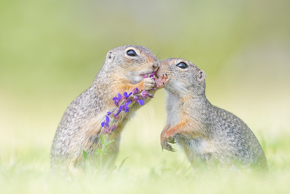 Two wild European ground squirrels [spermophilus] seem to share their breakfast. More on https://...