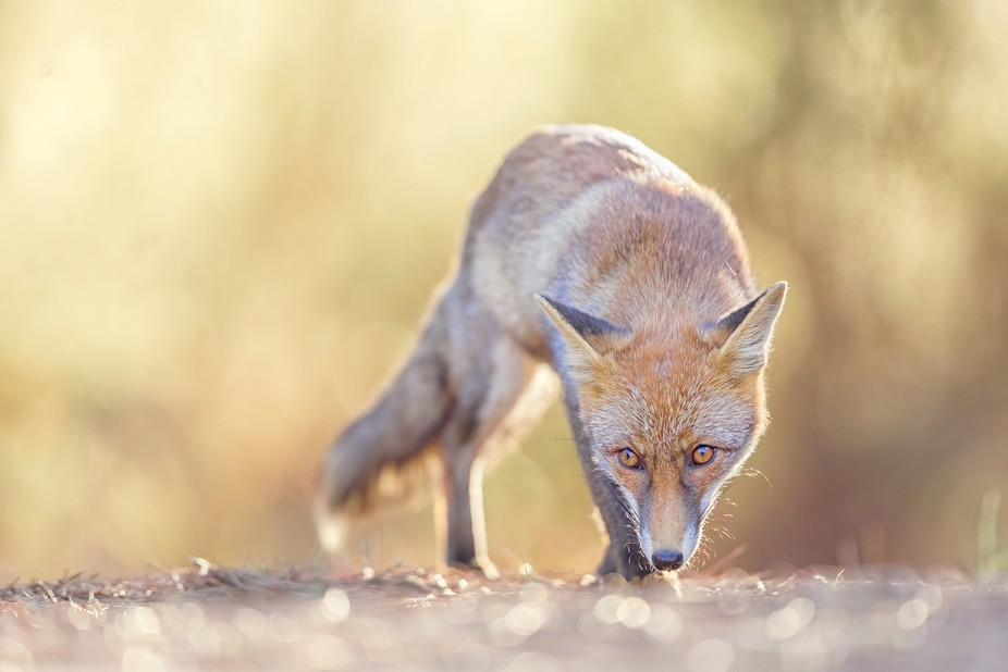 A wild young red fox [vulpes vulpes] on the prowl in a beautiful evening light. More on https://f...