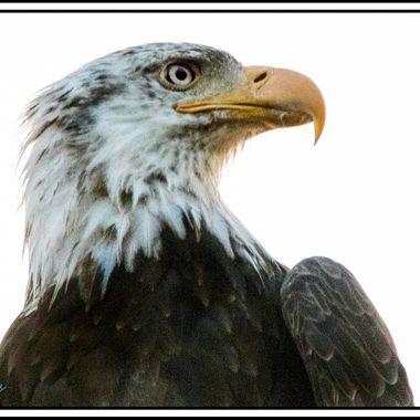 0P6A9878-5 Bald Eagle