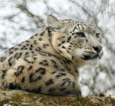 Snow lepard x