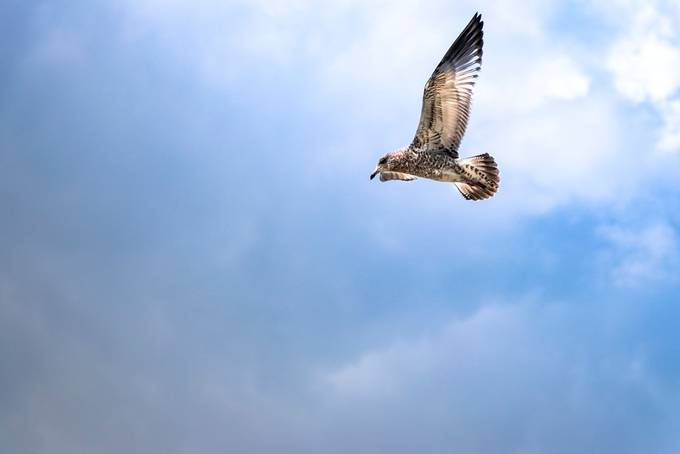 took this photograph a few days ago, this young seagull was just enjoying wind currents soaring and just enjoying the freedom of flight and having a good time meanwhile rest of bunch were out and about fighting over food.