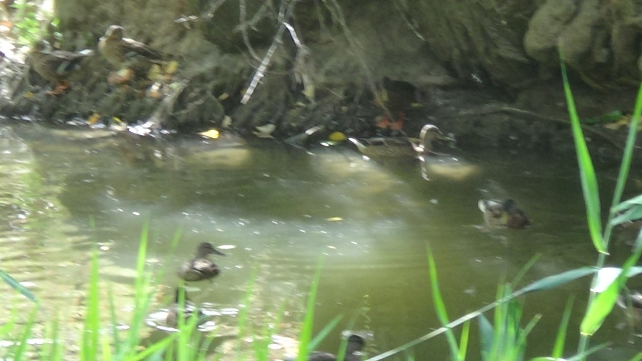 DUCKS IN THE WILD