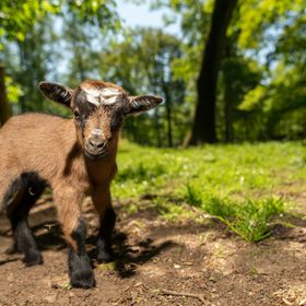 A happy little curious goat looking at you