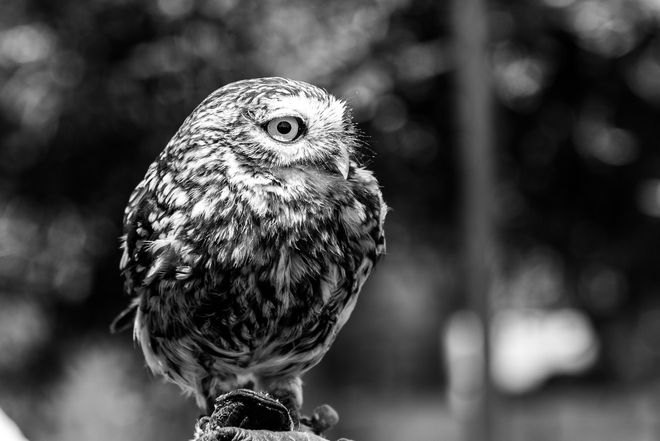 a little owl b&w