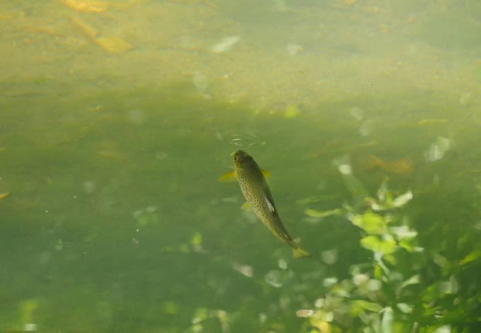 Riding trout