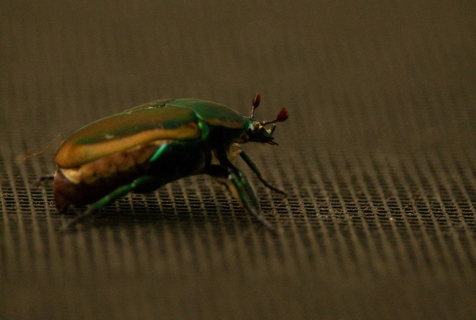 This little beetle decided to grace me with his presence.