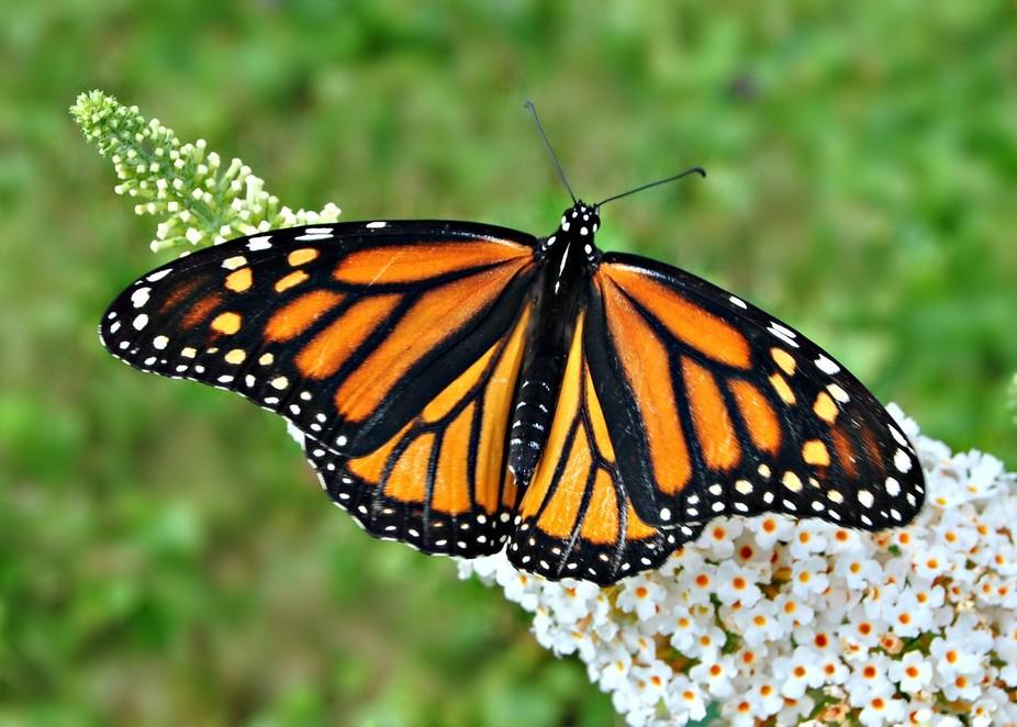 A beautiful Monarch on a butterfly bush !
