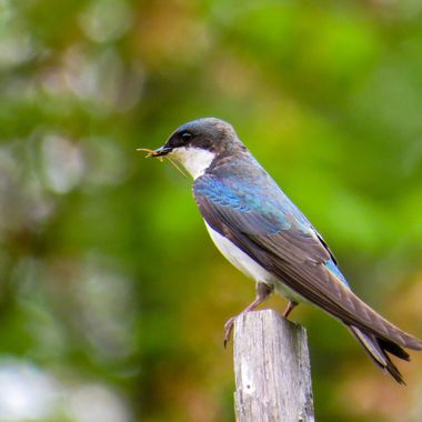 Tree Swallow, Poolesville, MD, McKee-Besher, IMG_0337