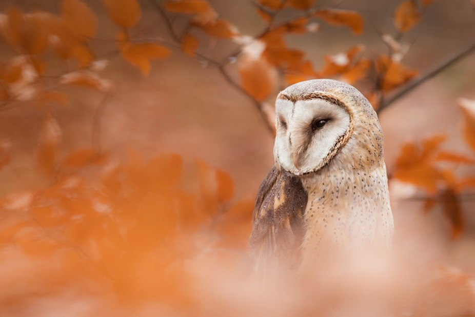 Young Tyto Alba in Slovakia autumn forest.