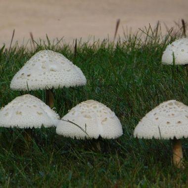 Pop up mushrooms after a rain.