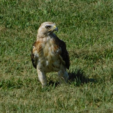 I was able to et several shots of this hawk up close but I liked this one the best because the feathers on his legs reminded me of pantaloons.