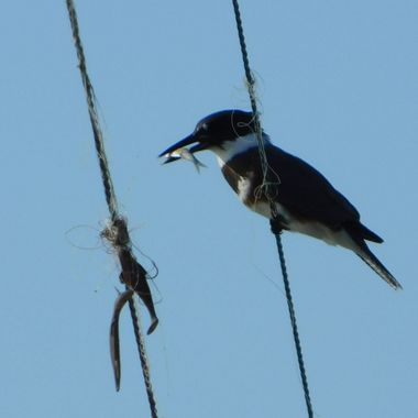 Belted Kingfisher with Fish.