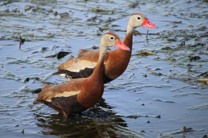 A pair of black-bellied whistling ducks