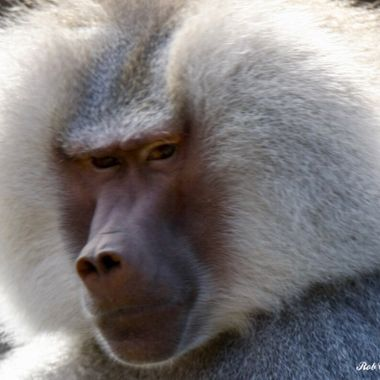 Prime Male Baboon