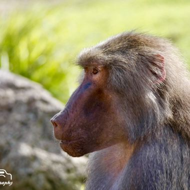 Female Baboon