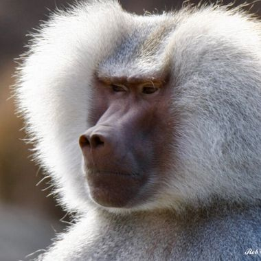 Male Baboon Stare