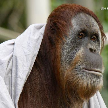 Orangutan in deep thought