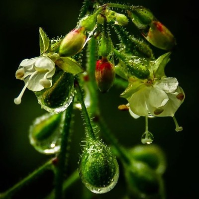 Enchanter's Nightshade holding onto raindrops after an afternoon rainstorm.  #trailsend #enchantersnightshade #raindrops #wildflowers #macro #wander #outthebackdoor #backyardnature #pocket_flowers #raw_flowers #top_macro #canon_photos #canonwhatelse #cano
