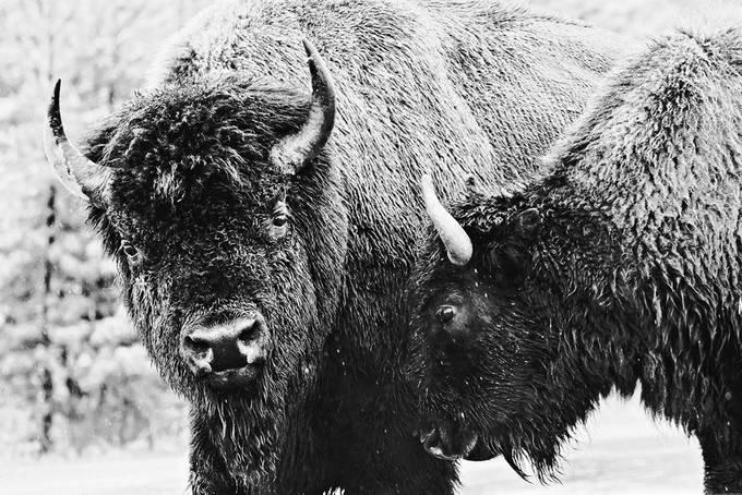 The Voice of Reason by felipecorrea - Winter Wildlife Photo Contest