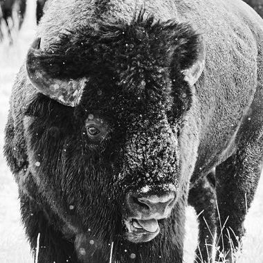 Thank goodness for telephoto lenses. I love getting close, gently and respectfully, but not in this instance. He was ready to trample intruders, bison and otherwise.