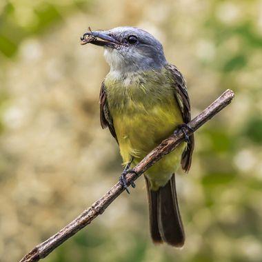 Tropical kingbird-9256