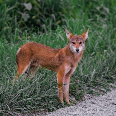Coyote2-2