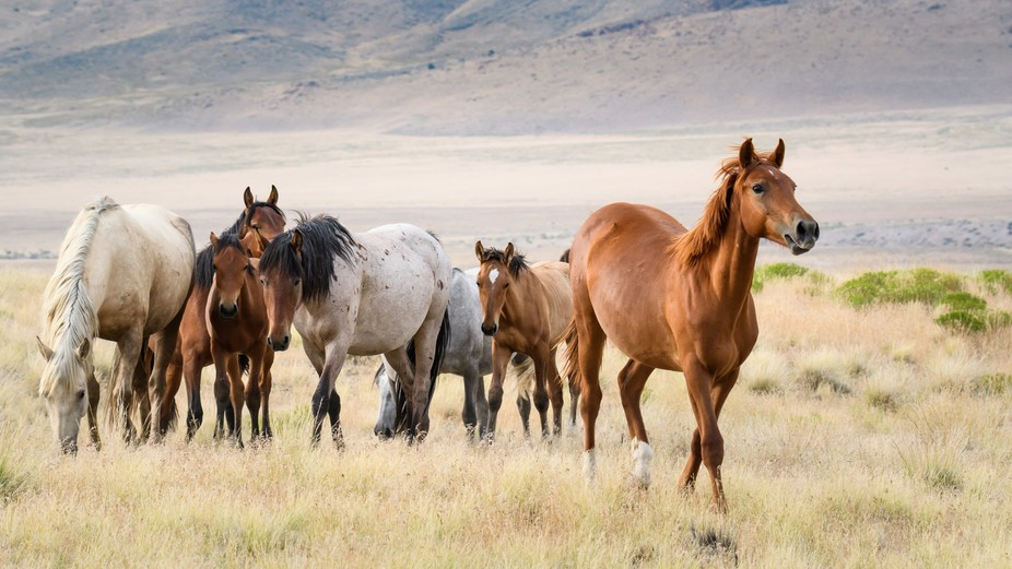 Bands of mustangs were heading up into the hills when I got this photo. The lead stallion at the ...