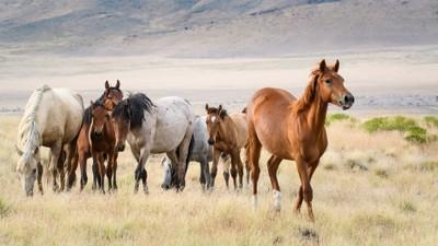 Mustangs at Sunset