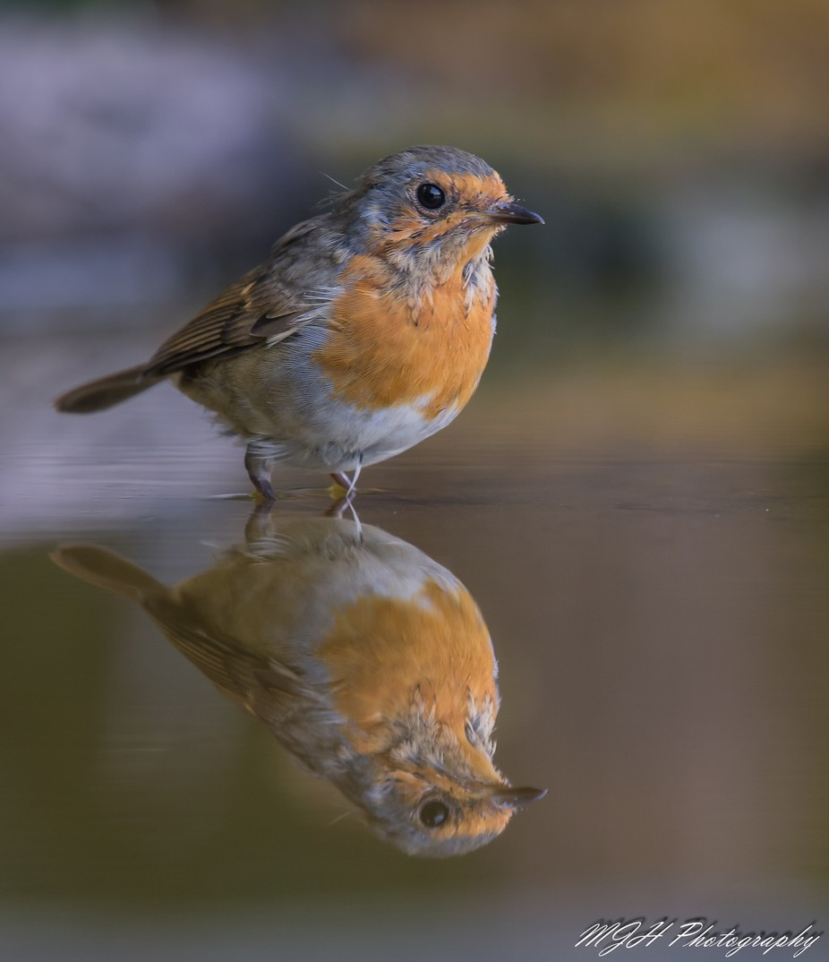 Robin by mikehodgson - Stillness Photo Contest