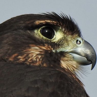 N.Z.s only falcon and also the only diurnal bird of prey endemic to New Zealand