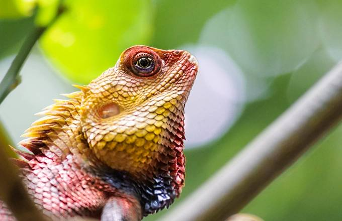 Colorful Calote by rainard - Reptiles Photo Contest