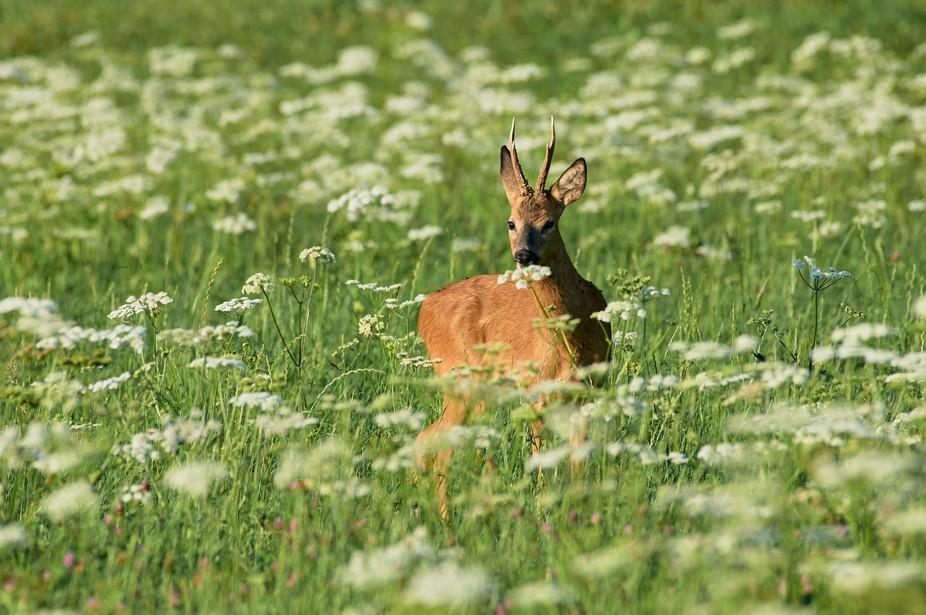 Roe-deer smelling a flower