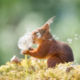 red squirrel with dandelion seeds in face