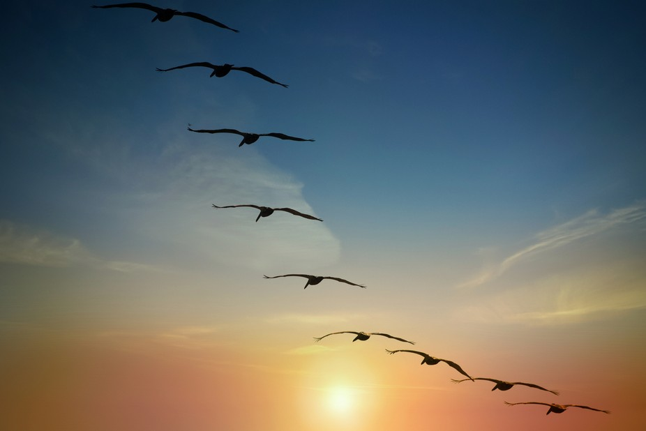9 pelicans