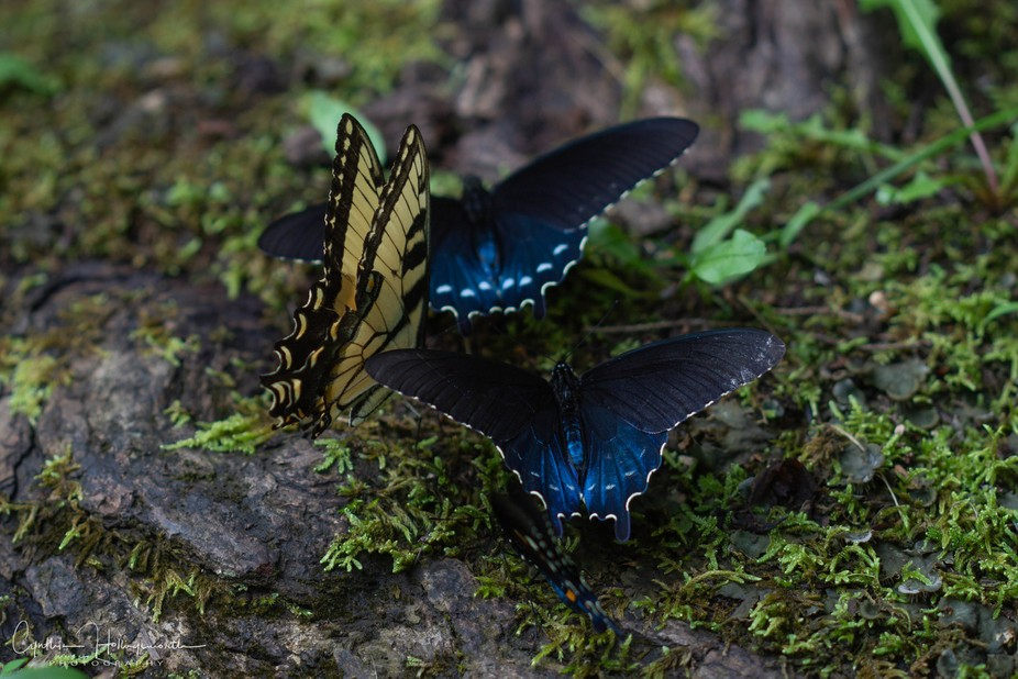 Swallowtail butterflies puddle near Greenbrier, Great Smoky Mountains