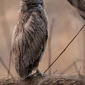 Brown Fish Owl. I have had a passion for tigers since primary school. Fired up by a book, Man-Eaters of Kumaon by Jim Corbett. So when I had the ...