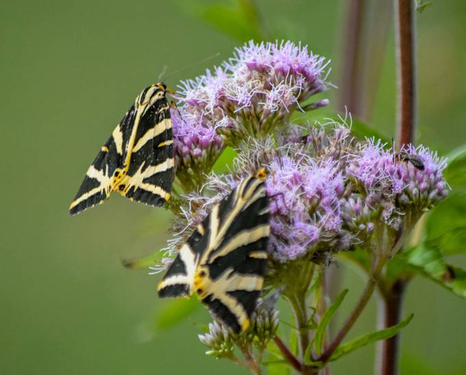 These are day flying moths found in Europe. The image was taken near Neufchatel en Bray, Normandy.