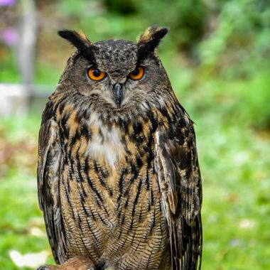 Taken at Brancion, Bourgogne, France during a medieval weekend. This owl (Bubo Bubo) was part of the displays.