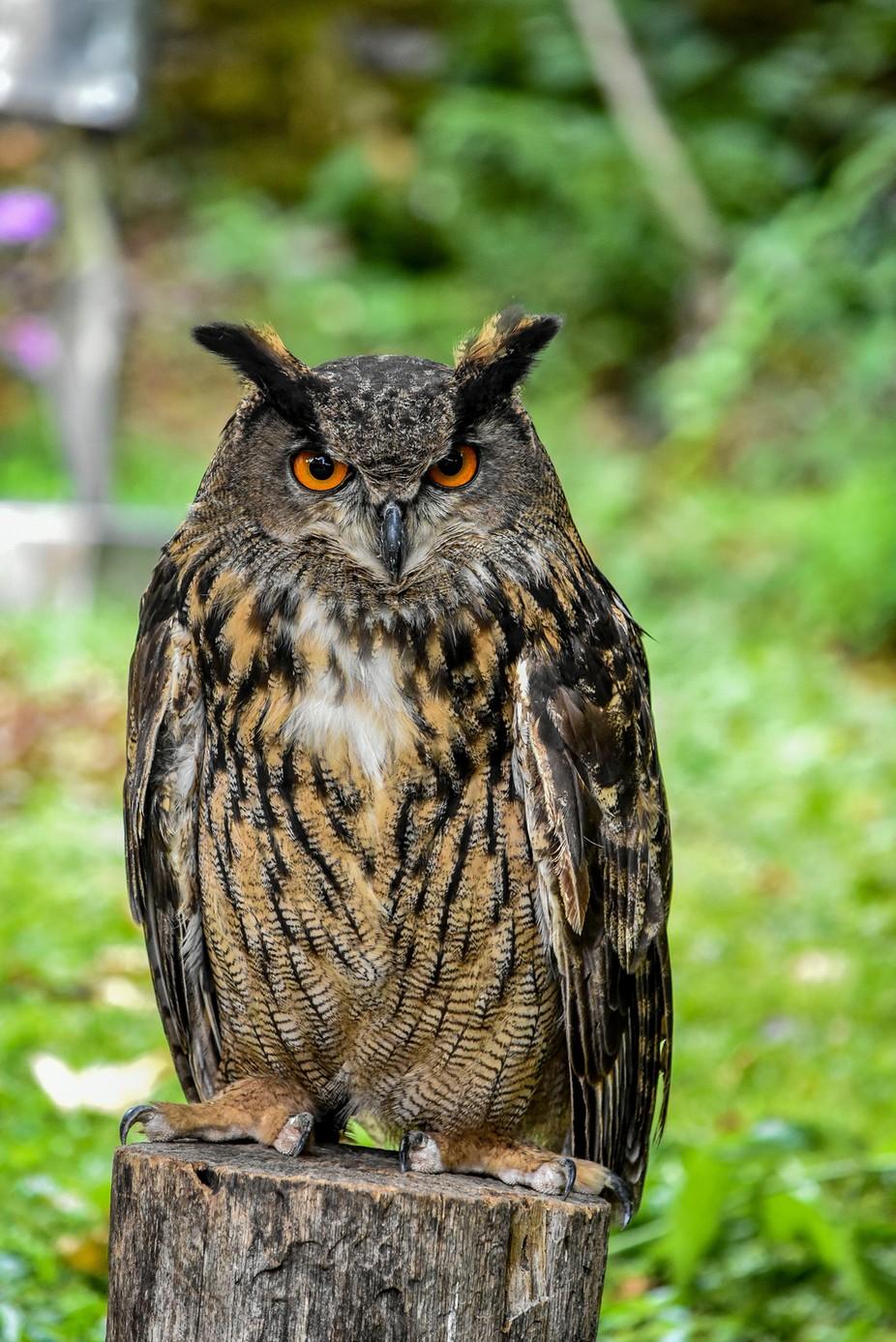 European Eagle Owl by samdownie - Beautiful Owls Photo Contest