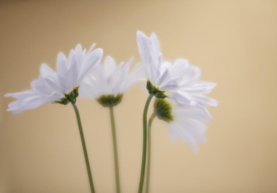 A quartet of daisies.