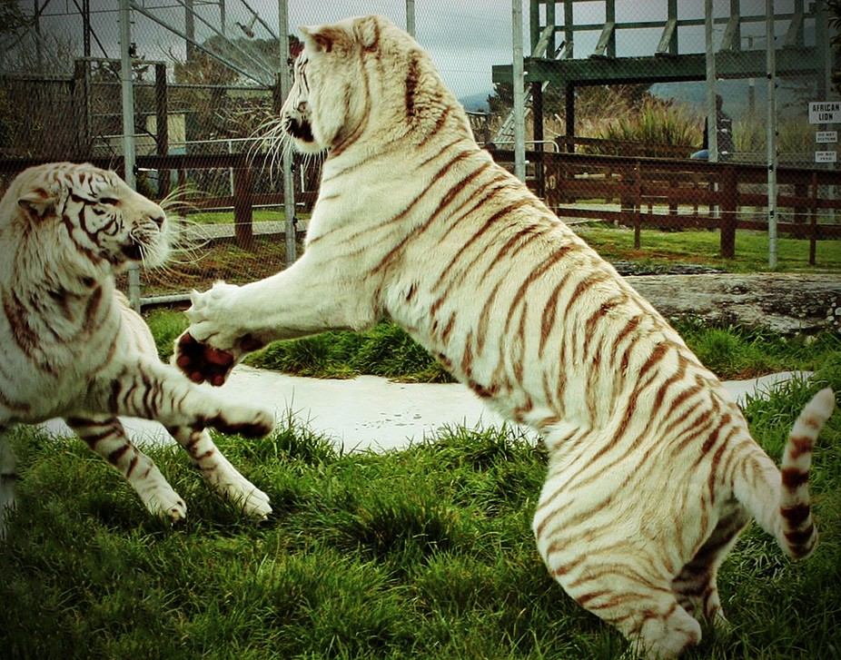 Two feline sisters enjoy a post launch joust at New Plymouth's Pouakai Zoo in the Tarana...