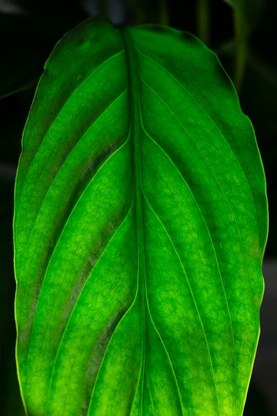 Peace Lily Leaf